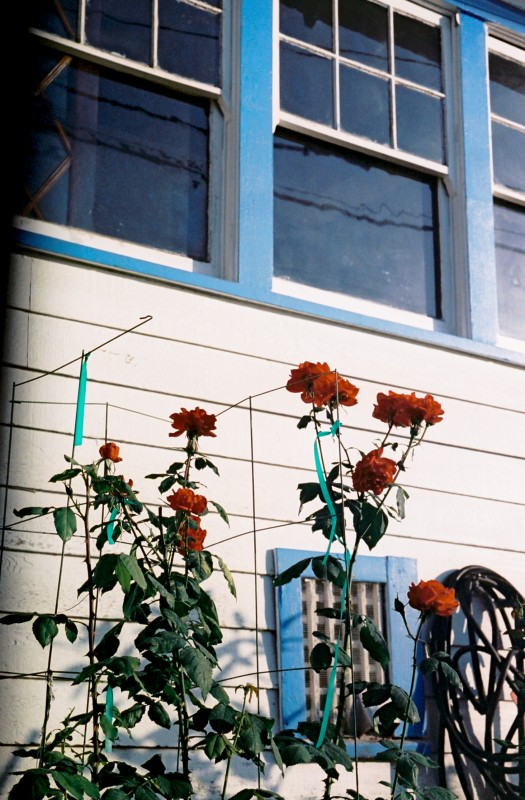Red Roses Blue Windows