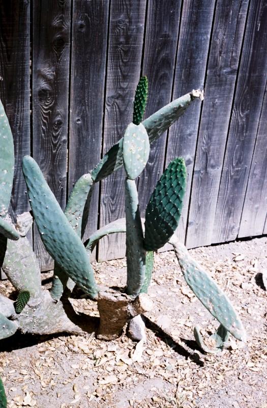 Topanga Cactus